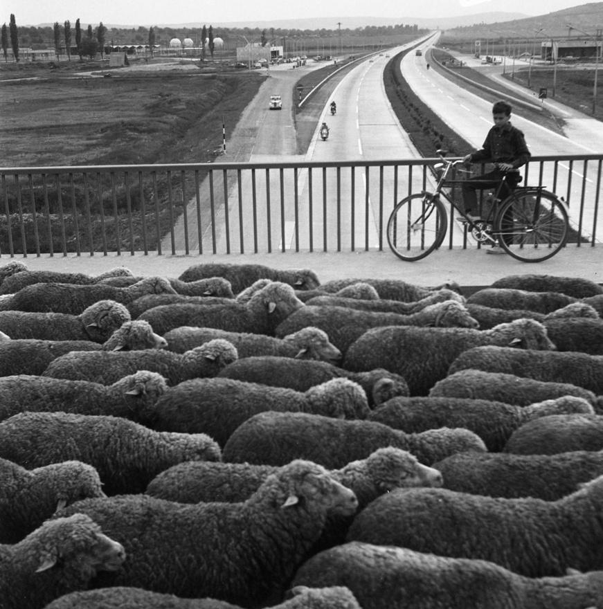 Az új autópályát még alig használta valaki, fizetni sem kellett érte, szegény birkák mégis a felüljáróra kényszerültek. Az ősi világ és a modern kor kontrasztját a mélázó biciklis fiú alakja még jobban felerősíti.