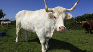 Akciófilmbe illő módon fogtak be egy bikát Hőgyészen