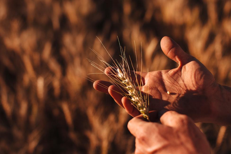 Cole az ujjaival megvizsgálja a búzaszemek nedvességét a betakarítás előtt. A különösen esős tavasz és nyár miatt egyre égetőbb problémává válik az, hogy nehéz lesz a kaszálás.