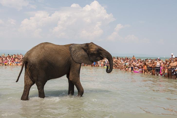 Cirkuszi elefánt a Balatonban