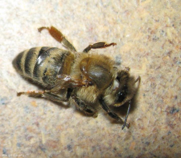 Krajnai méh a deformált szárny vírus által okozott betegség tüneteivel