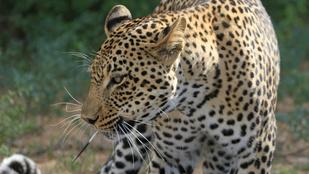 Megszökött az indiai iskolát terrorizáló leopárd
