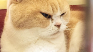 Grumpy cat a múlté, itt egy újabb gonosz macska