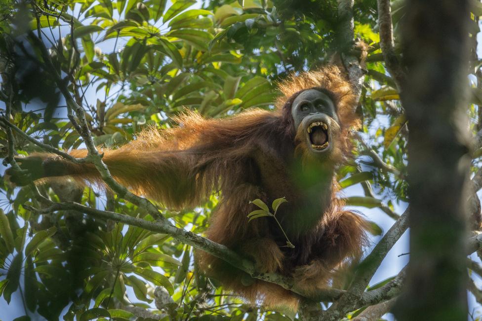 Természet 1. hely Hím orángután próbál félelmet kelteni a fotósban Szumátrán