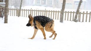 Itt egy újabb nagyon quasimodós kutya