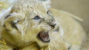 Újra oroszlánok születtek Gyöngyösön!