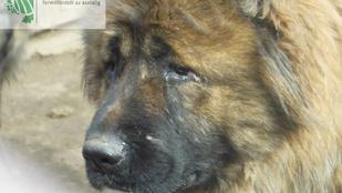 Több száz kaukázusi kutyát kínzott a tenyésztő