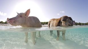 Disznók lubickolnak a Bahamákon