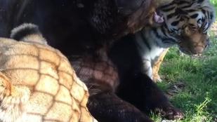 A tigris, a medve és az oroszlán, a három jó barát