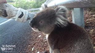 Egy koala kérésének soha ne álljon ellen
