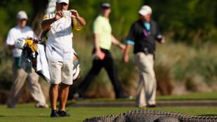 Erre a 3 méteres aligátorra azt hitték, hogy egy golflabda
