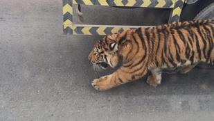 Szökevény tigris okozott tekintélyes közlekedési káoszt Katarban