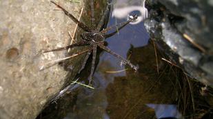 Felfedeztek egy új pókfajt, és semmi biztatót nem tudunk róla elmondani