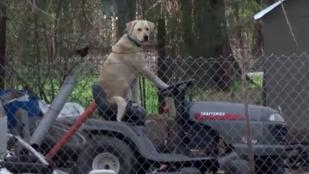 A fűnyíró traktoron lazító labrador lett a tornádós riport sztárja