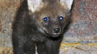 Cukiságukkal támadnak a szegedi sörényes farkas kölykök