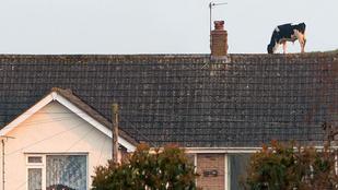 De hogy kerültek a tehenek egy ház tetejére?
