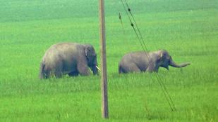 Elefántok gyilkolásznak Nyugat-Bengálban