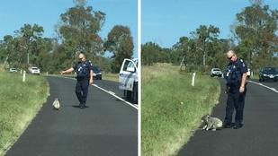 Koala okozott közlekedési dugót Brisbane-ben