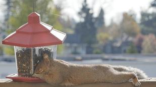 Ez a mókus madárkajával zabálta magát álomba
