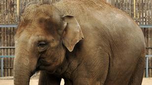 Egy magyar elefánt szabadon garázdálkodik Ukrajnában