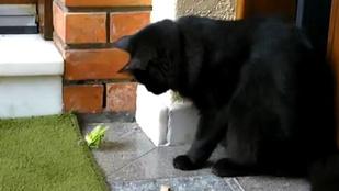 Kíváncsi cica az imádkozó sáska ellen