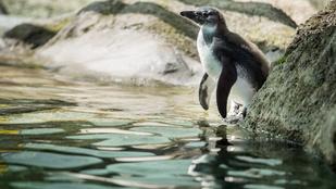Ismerje meg Skippyt, a fővárosi állatkert bébipingvinjét!