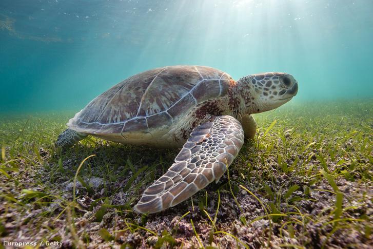 Közönséges levesteknős Mexikó partjainál.
