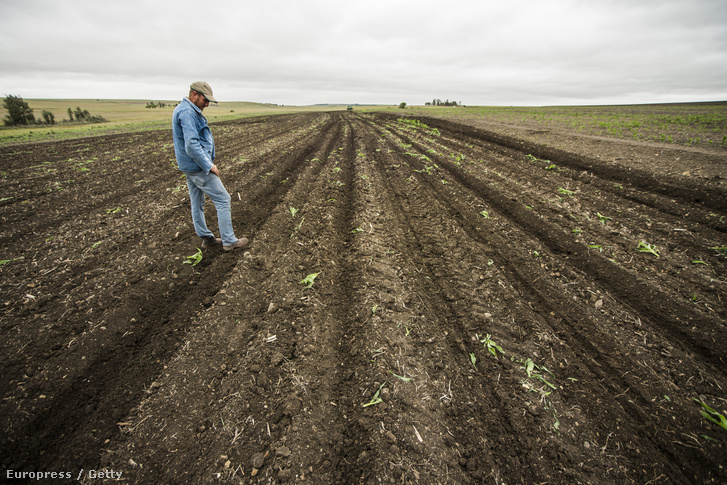 Egy dél-afrikai gazda tekint végig kukorica földjén, ami az idei El Nino miatt teljesen terméketlenné vált.