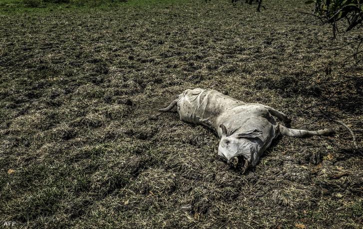 Egy halott tehén Kolumbiában, mely az El Nino okozta környezeti károk miatt pusztult el.