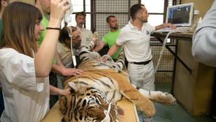 Félsiker a veszprémi tigrisszaporító programban