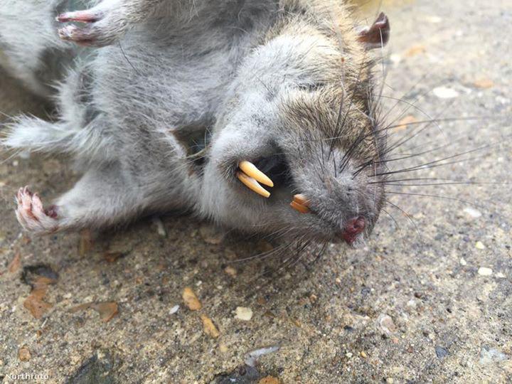 tk3s swns rat 02