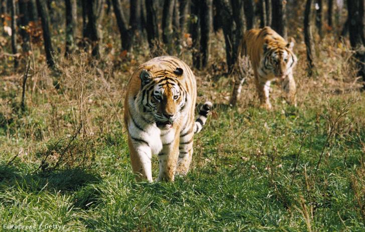 Amuri tigrisek