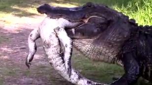 Floridában már az aligátor is aligátort eszik
