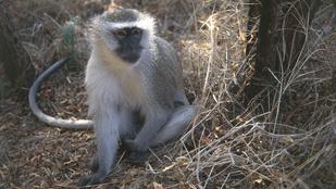 A majom egy kővel okozta a kínai turista halálát