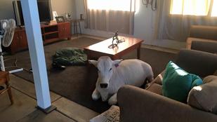 Ismerje meg Beryl-t, a tehenet, aki szentül hiszi, hogy kutya