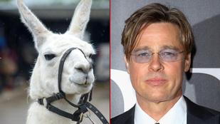 Brad Pitt, a láma, majdnem örökre elveszett