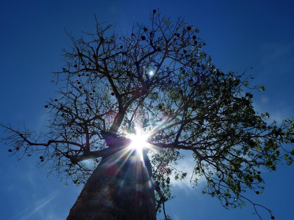 A másik madagaszkári sztár: a baobab, magyarul majomkenyérfa. Ezek a szupercukiság kategóriájába tartozó növények úgy néznek ki, mintha fordítva lennének a földben, a gyökerükkel felfelé. A helyiek úgy tartják, hogy az ördög állította a baobabot fejre. Akár nyolcszáz évig is elélnének egyébként, ha hagynák őket, a gyümölcsük pedig finom és vitaminban gazdag. Mostanra a helyiek kezdenek rájönni, hogy turistalátványosságként többet hoznak a konyhára, mint kivágva, így elkezdtek vigyázni rájuk. Korábban a baobab törzséből vájták ki a kis halászcsónakokat.