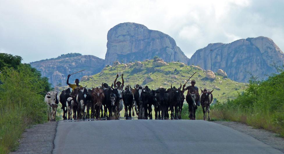 Vidéken bármelyik kanyarban feltűnhet egy zebucsorda, hiszen az úton a legkényelmesebb hajtani ezeket a békés kérődzőket. Egyszer majdnem félórát álltunk az út szélén, mert egymás után legalább tíz csordát hajtottak el mellettünk. A zebuk a madagaszkári szarvasmarhák: nemcsak a tejükért és a húsukért tartják őket, de besegítenek a teherszállításban is. Ez utóbbinak annyira nagyon nem örülnek, mint az magunk is megtapasztalhattuk: a hajtónak sokféle lélektani módszert be kell vetnie, gyakran fizikai kényszert alkalmaznia, mert a zebu inkább az árnyékban állna, ahelyett, hogy negyven fokban kordét húzzon.  A végső érv a zebu kakás farkának erőteljes húzogatása, aminek szagos-csuszpájzos mellékhatása, hogy erre válaszul a zebu általában kakil egy frisset.