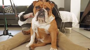 Nagyon fontos videó: bulldogzene
