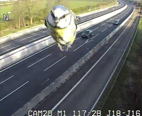 speeding-bird-blue-tit-traffic-camera-canada-1