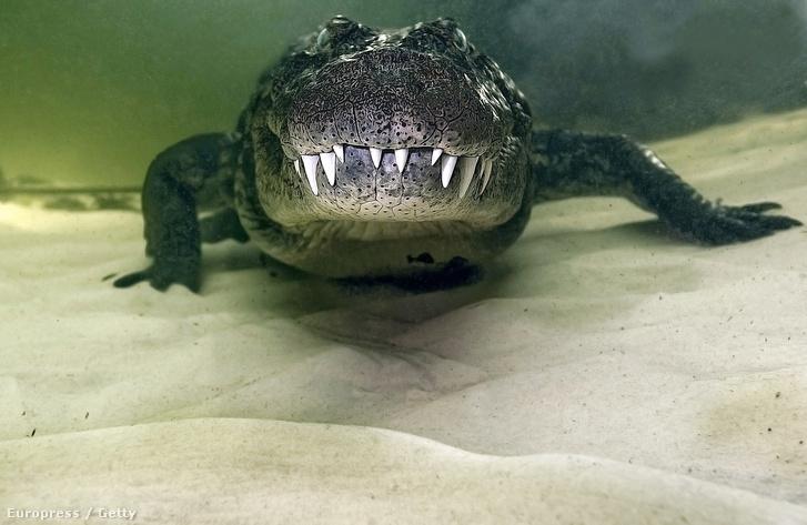 Nílusi krokodil