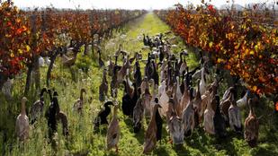 Ezer kacsa, egy küldetés: elpusztítani az összes csigát