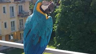 Segítség! Látta valahol a városnéző papagájt?