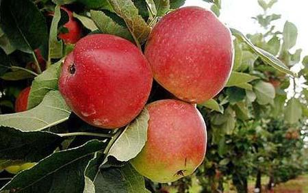 Apples-0 1512791c