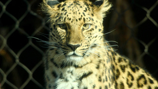 Kiszökött egy leopárd a kifutójából Salt Lake City-ben
