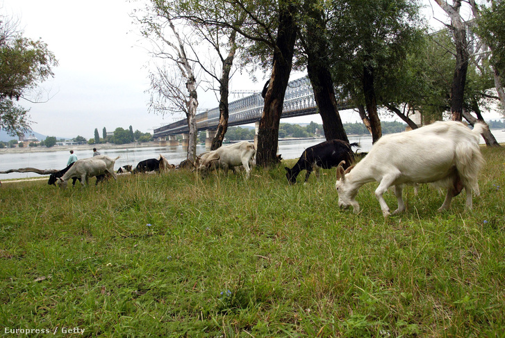 Kecskék legelészik a parlagfüvet Budapest egyik ipari zónájában.