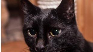 Ha lát egy fekete macskát a Margisztigeten szóljon, mert ő biztosan nem fogja látni önt