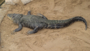 Aligátor ragadt el egy kétévest a floridai Disneylandnél