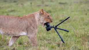 Ilyen az, ha egy nőstény oroszlán ráindul egy kamerára