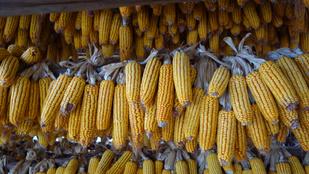 142 diák elment a kukorica címerező táborba, de rossz helyen címereztették őket